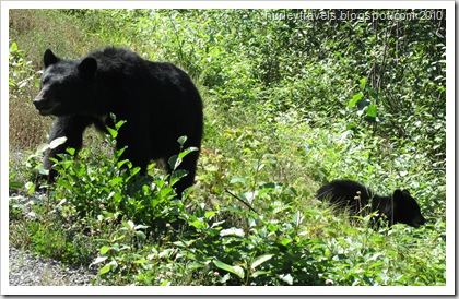 Black bear and her cub out foraging for a meal as we were traveling toward Stewart, B. C. and Hyder, AK, on August 17.  There was another cub with them, but the two babies were moving around too much to catch them all at once.  Soon Momma Bear turned and led them slowly back into the trees.