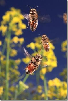 Butineuses en vol d'approche de la ruche sur un champ de colza. Les muscles de l'abeille lui permettent de battre des ailes 400 à 500 fois par seconde pour atteindre une vitesse de 25 à 30 kilomètres/heure en pleine charge. Les butineuses font 10 à 15 voyages par jour mais celles qui sont spécialisées dans la récolte du nectar peuvent opérer 150 sorties en une journée. La durée de leur vie est directement liée au temps passé en vol pour le butinage. En été, une butineuse s'épuise à la tâche en cinq jours au cours desquels elle parcourt environ 800 kilomètres.