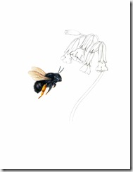 HairyFooted Flower Bee f