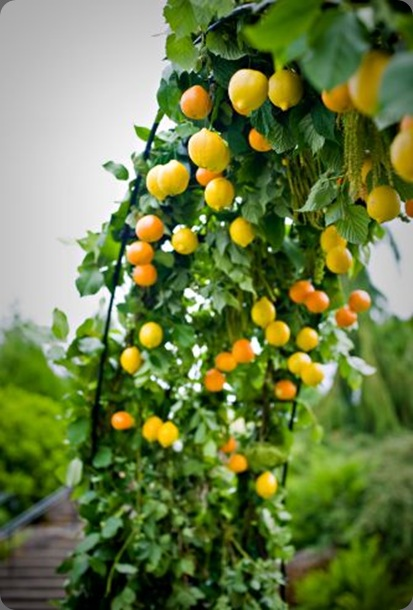 archway-decorated-with-citrus-Oregom-Gardens-Françoise-Weeks