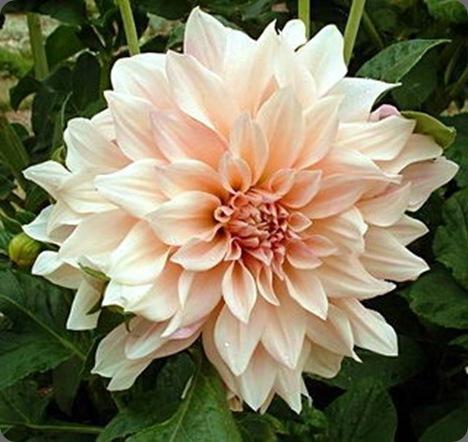 Dahlia_Cafe_au_Lait Hidden Garden