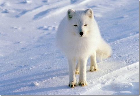 Arctic_Fox_Photo_5