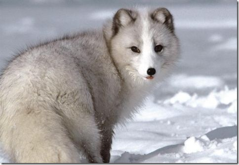Arctic_Fox_Photo_2