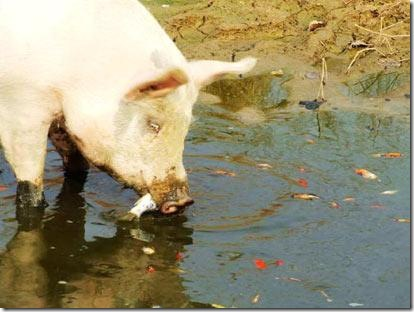 fish_eating_pig