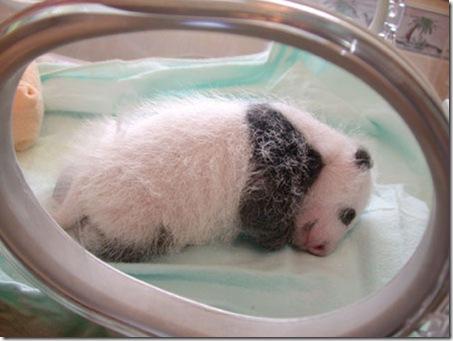 baby_panda (5)