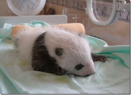 baby_panda (7)