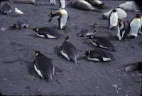 Nesting King penguins.jpg