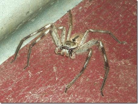 12 spider