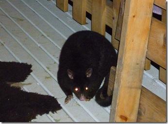 22 possum
