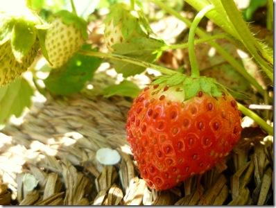 74 strawberry