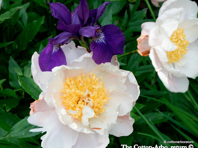 PEONY GLOWING CANDLES AND SIBERIAN IRIS