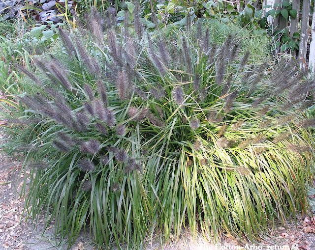 Pennisetum Moudry