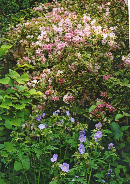 gardenweigela002.jpg