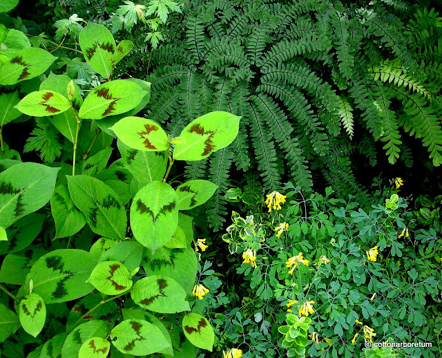 GARDENLESSONS PLANTS SHADE Persicaria Lance Corporal, Maidenhair Fern, Corydalis Lutea