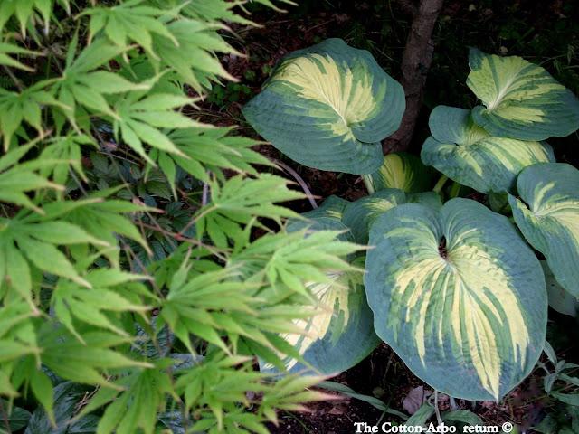 Acer palmatum Omurayama, Hosta Great Expectations