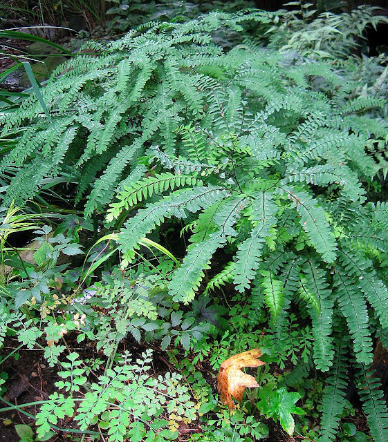 NORTHERN MAIDENHAIR FERN.jpg