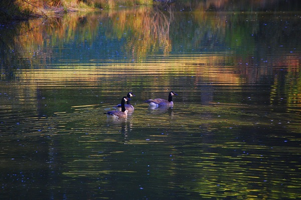 A TRIO OF MORNING GEESE ON GOLDEN POND
