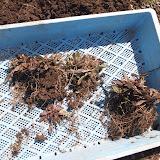 銅葉の雑草