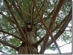 pinetrunkspiralnicer