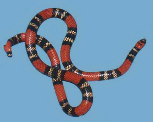 Micrurus frontalis altirostris (serpiente coral) V%C3%ADboraDeCoral