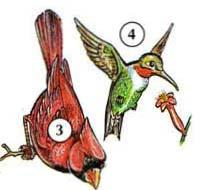3. cardinal 4. hummingbird