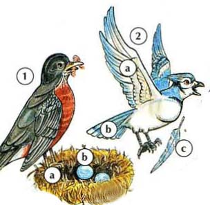 1. robin a. nest  b. egg 2. blue jay a. wing b. tail c. feather