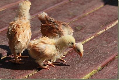 Chicken Babies (39)