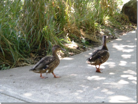 Duckies take a stroll.