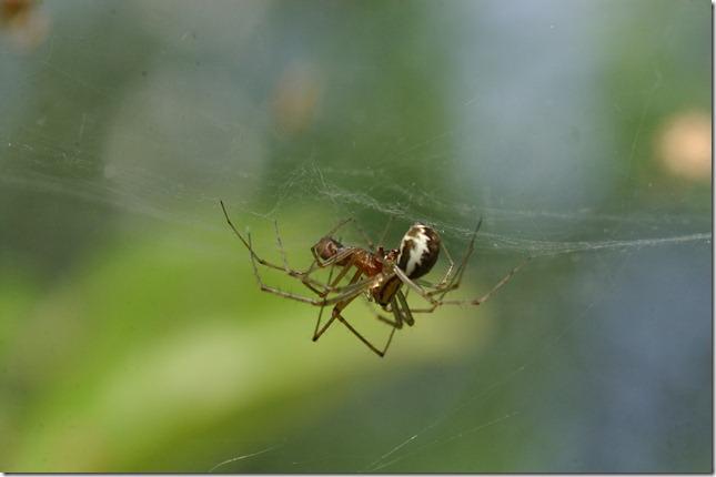 hämähäkit 063