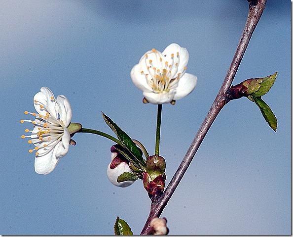 aamu kirsikka 024