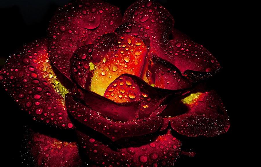 Droplet by Rahul Chakraborty - Flowers Single Flower ( water, macro, red, closeup, flower,  )
