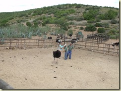 a4119 Gaelyn falling off ostrich Cango Ostrich Farm R328 Little Karoo Western Cape ZA