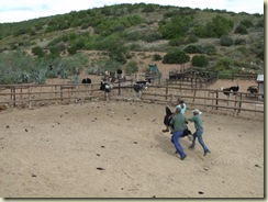 a4118 Gaelyn riding ostrich Cango Ostrich Farm R328 Little Karoo Western Cape ZA
