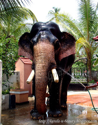 A Huge Tusker Elephant of Kerala