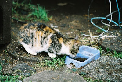 Feral kitten gets a drink of water
