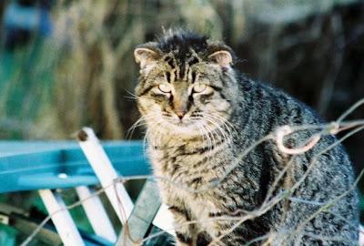 Feral cat photo scottish fold flop eared tom cat