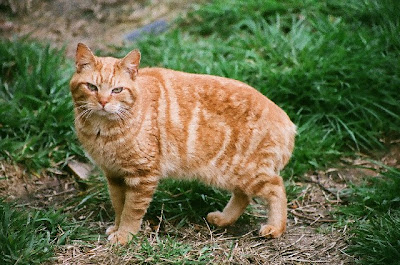 cat photo picture of LoJack a bobtail feral cat