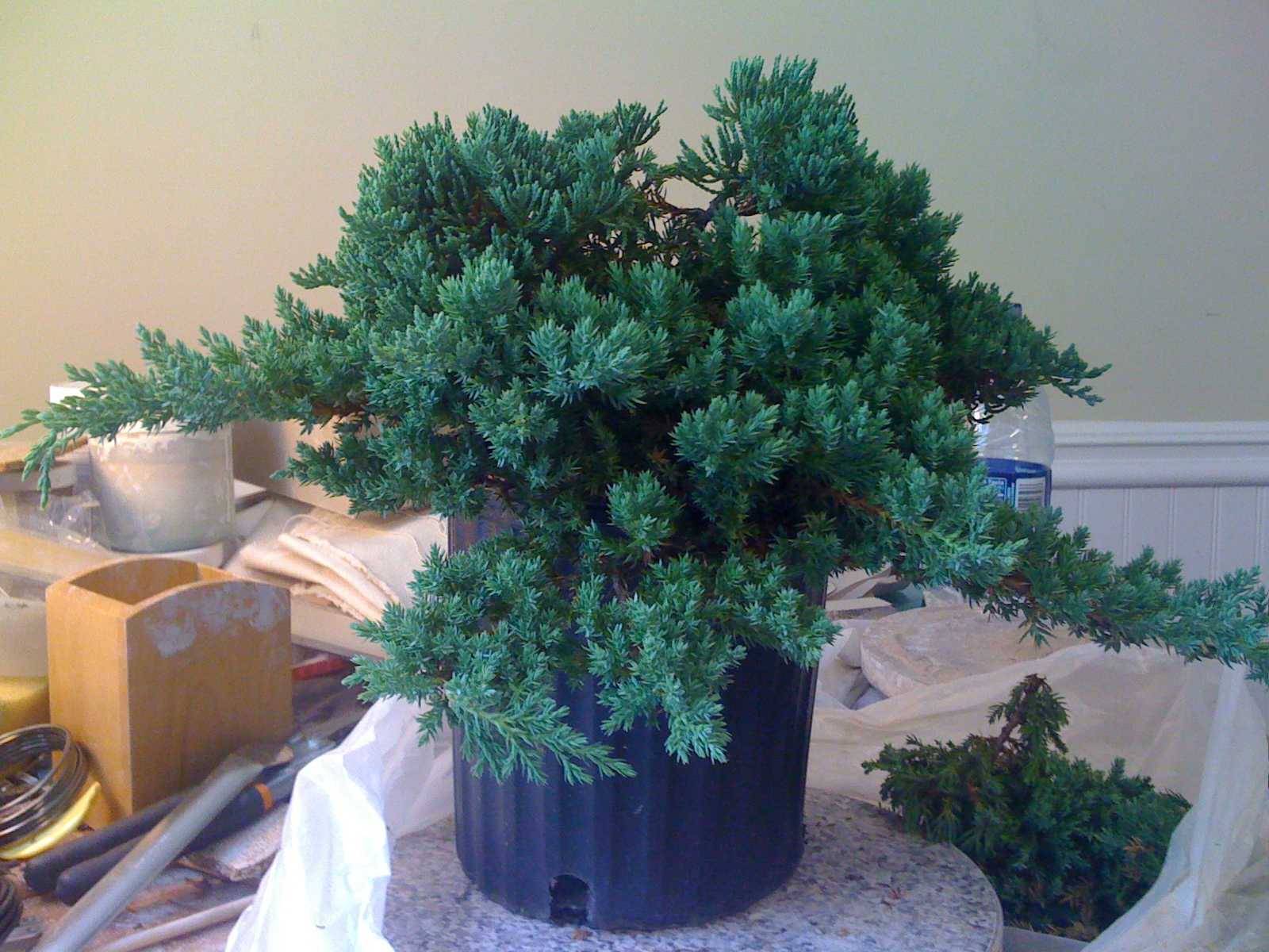 Bodhisattva Bonsai Juniper Shohin Bonsai In The Works