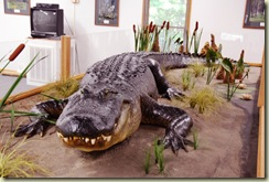 alligator display