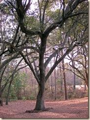 Nicely Pruned Live Oak at Sesqui