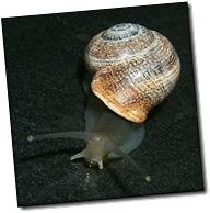 caracol helix lactea