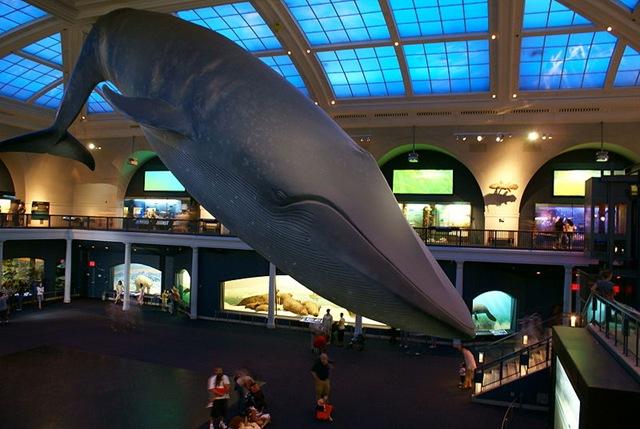 800px-Blue_Whale_Nat'l_Hist_Museum