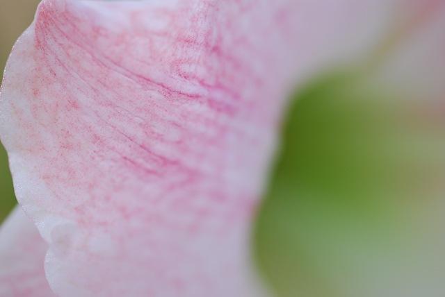 Amaryllis Apple Blossom petal macro