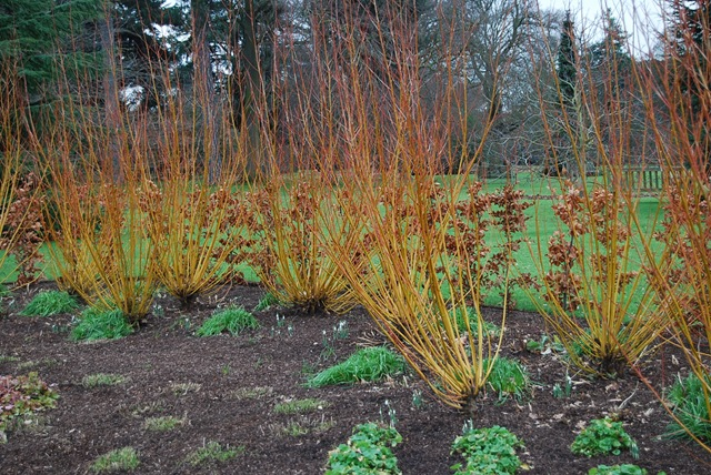 Kew yellow cornus