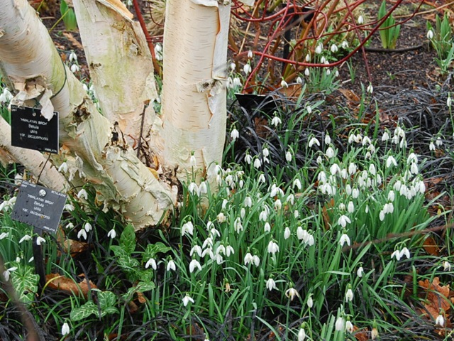 Kew snowdrops and silver birch