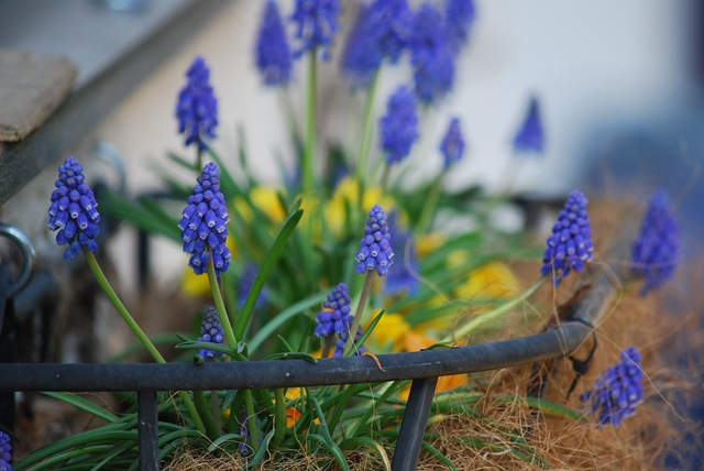 Muscari windowbox