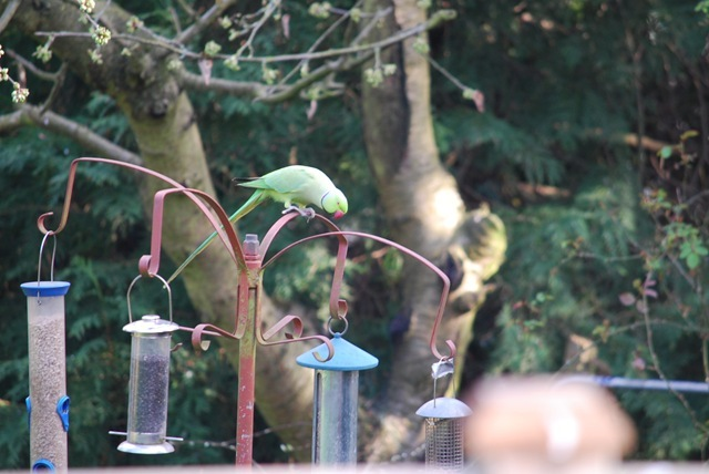 Parakeet on bird feeders