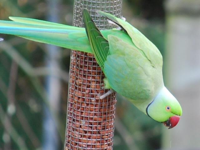 Parakeet on feeder