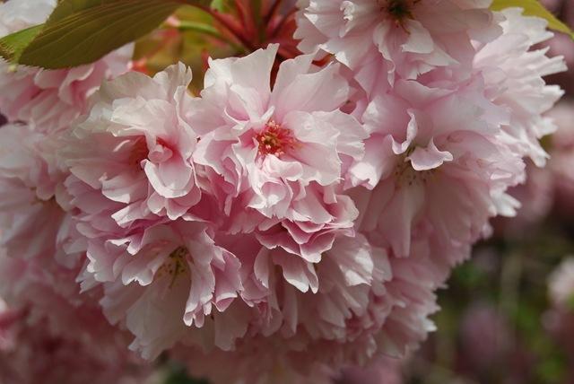 Kew pink blossom (2)