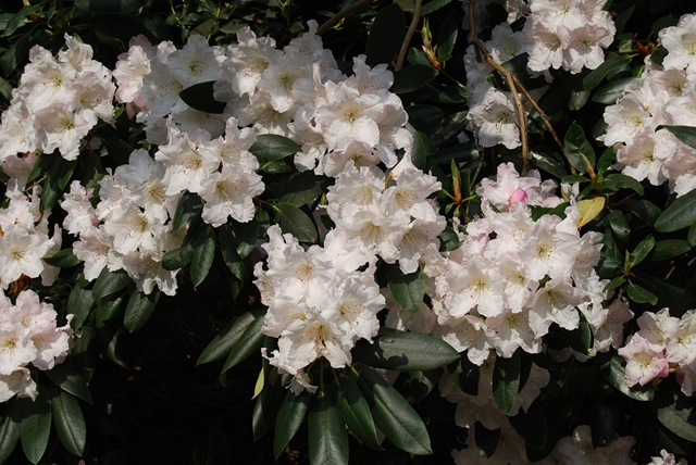 Kew white rhododendrons